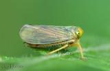 Leafhopper Coelidiinae