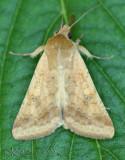Corn Earworm Moth Heliothis zea #11068