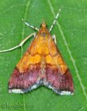 Pyrausta bicoloralis #5040