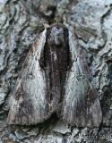 Ultronia Underwing Catocala ultronia #8857