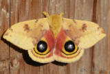 IO Moth Automeris io #7746