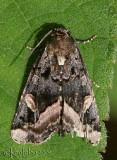 Black Wedge-spot Homophoberia apicosa #9057