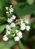 White Snakeroot Eupatorium rugosum
