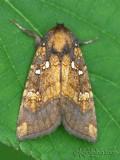 Northern Burdock Borer Moth Papaipema arctivorens #9471