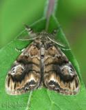 Definite Tussock Moth Orgyia definita #8314