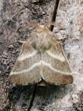 Eastern Tent Caterpillar Moth Malacosoma americanum #7701