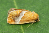 Yellow-shouldered Slug Moth Lithacodes fasciola #4665