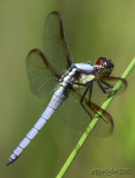 Yellow-sided Skimmer Libellula flavida