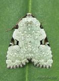 Leuconycta diphteroides #9065