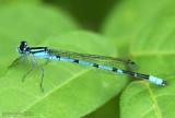 Marsh Bluet Enallagma ebrium