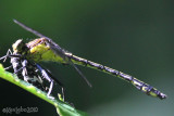 Black-shouldered Spinyleg female Dromogomphus spinosus