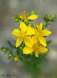 Common St Johns Wort Hypericum perforatum