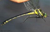 Dragonhunter - Hagenius brevistylus