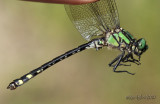 Extra-striped Snaketail Ophiogomphus anomalus