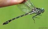 Eastern Least Clubtail Stylogomphus albistylus