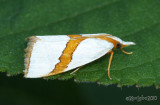 Straight-lined Argyria Moth Vaxi critica #5466