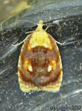 Blueberry Leaftier Moth Acleris curvalana #3504