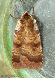 Lycophotia phyllophora #11010