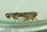 Leafhopper Osbornellus (Deltocephalinae)