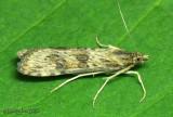 Lucerne Moth Nomophila nearctica #5156