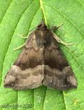 Gray-edged Bomolocha Hypena madefectalis #8447