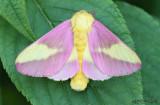 Rosy Maple Moth Dryocampa rubicunda #7715