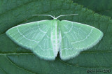 Wavy-lined Emerald Synchlora aerata #7058