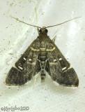 Harlequin Webworm Moth Diathrausta harlequinalis #5175