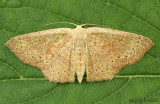 Packard's Wave Cyclophora packardi #7136