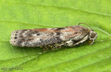 Black-spotted Leafroller Moth Sciota virgatella #5797
