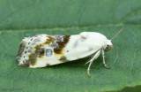 Olive-shaded Bird-dropping Moth Tarachidia candefacta #9090