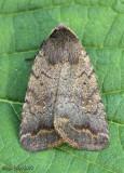 The Slowpoke Moth Athetis tarda #9650