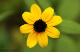 Thin-leaved Coneflower Rudbeckia triloba