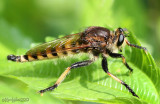 Robber Fly Promachus rufipes