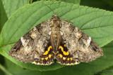 Locust Underwing Euparthenos nubilis #8719