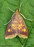 Pyrausta acrionalis #5071