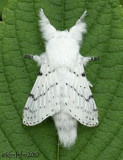 Dot-lined White Artace cribrarius #7683