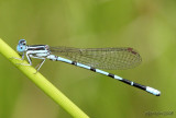 Seepage Dancer Argia bipunctulata