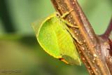 Buffalo Treehopper Stictocephala bisonia