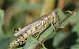 Differential Grasshopper Melanoplus differentialis