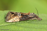 Green Cloverworm Hypena scabra #8465