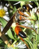 Golden Digger Wasp  Sphex ichnumoneus