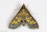 Paler Diacme Moth Diacme elealis #5142