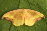 Rose Hooktip Moth oreta rosea #6255