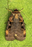 Pink-spotted Dart Moth Pseudohermonassa bicarnea #10950