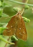 White-spotted Brown Moth Diastictis ventralis #5255