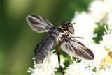 Feather-legged Fly Trichopoda lanipes