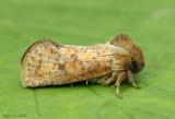 Eastern Grass Tubeworm Moth Acrolophus plumifrontella #0372