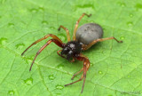 Bullheaded Sac Spider Trachelas tranquillus