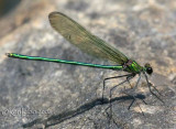 Appalachian Jewelwing Calopteryx angustipennis
